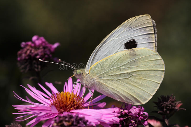 Download White cabbage butterfly stock image. Image of butterfly - 29937605