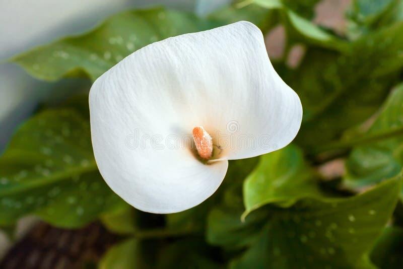 White Cala Lily