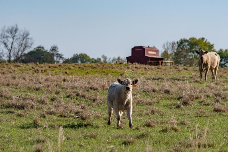 White calf with mom and feeder in background. White Charolais crossbred calf in the foreground with his mother and a cattle feeder out-of-focus in the background royalty free stock photography