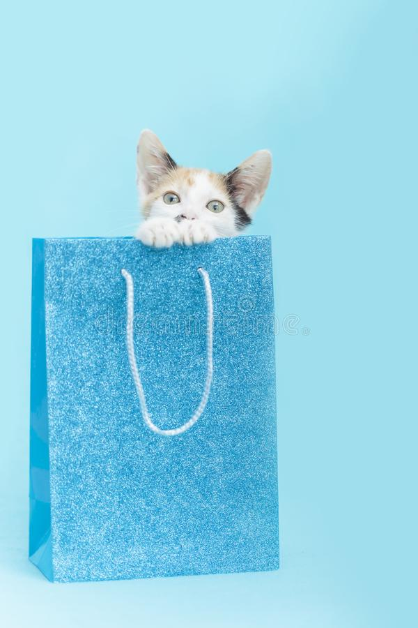 White Calico Kitten peeking out of a blue glitter Birthday gift bag, blue background royalty free stock photography