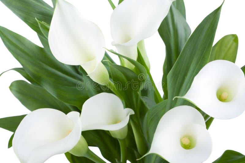 Download White Calla stock photo. Image of white, yellow, flower - 22273240
