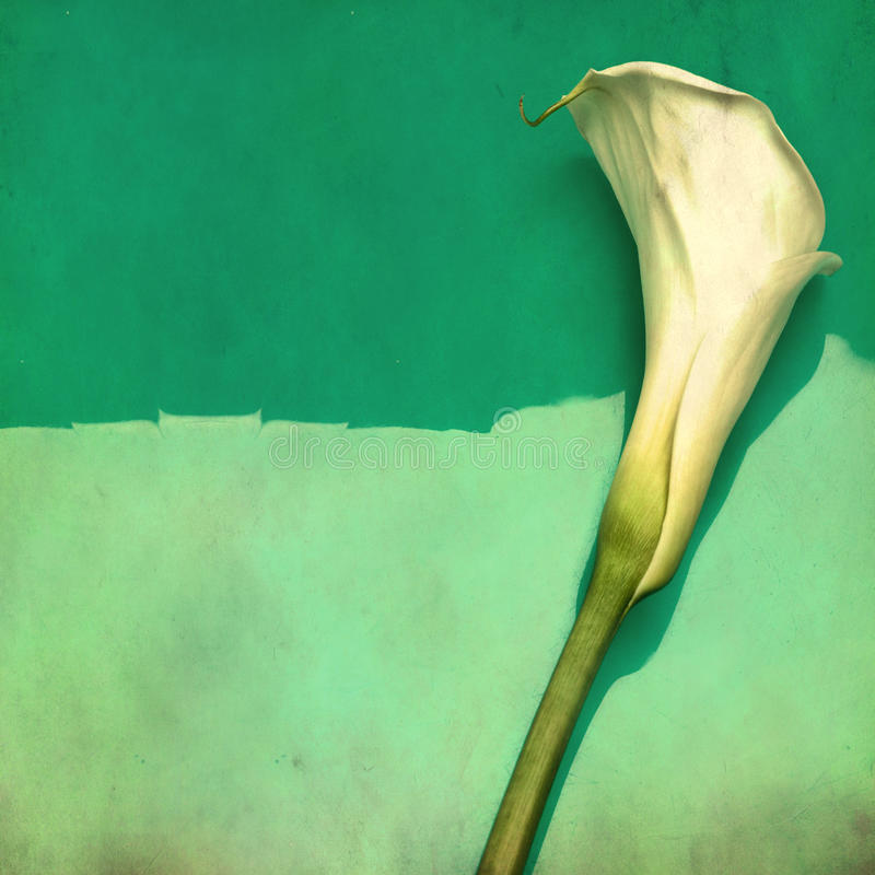 White calla flower - picture in retro style royalty free stock photography