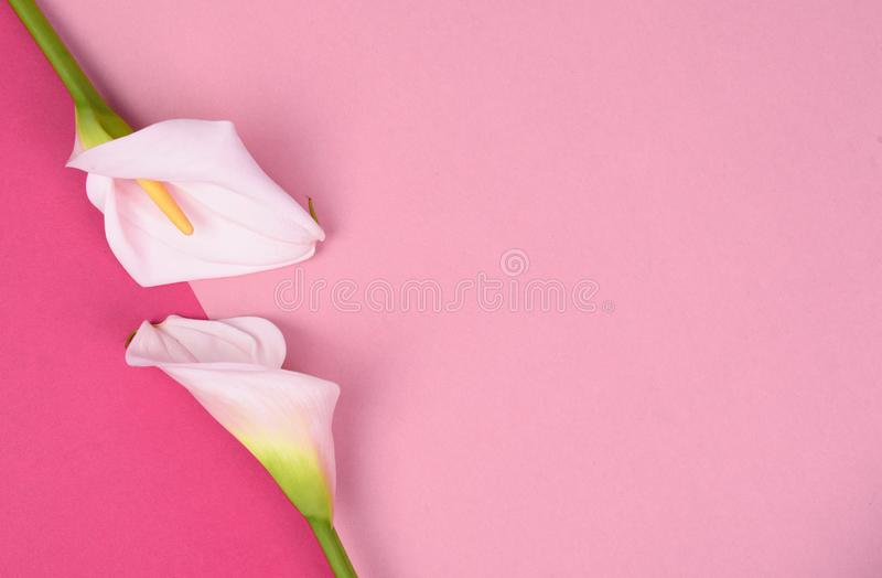 Beautiful pink background with white callas. Delicate flowers. White calla lilies isolated on pink background. Top view stock image