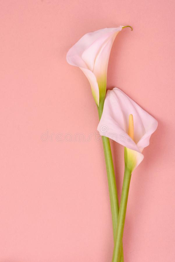 Beautiful pink background with white callas. Delicate flowers. White calla lilies isolated on pink background. Top view stock images