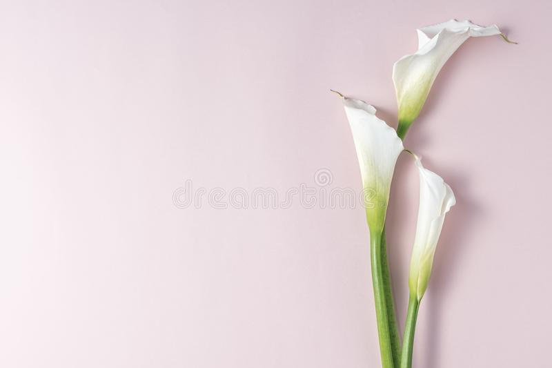 White calla lilies on pink background with copy space, top view.  royalty free stock photos