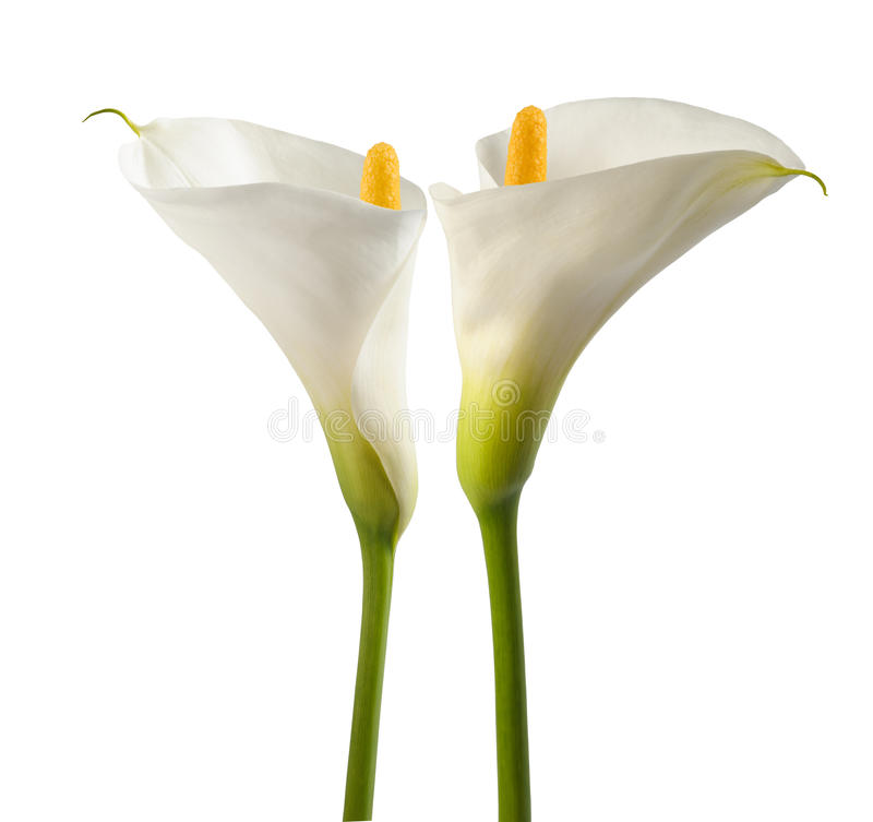 White calla lillies stock photo
