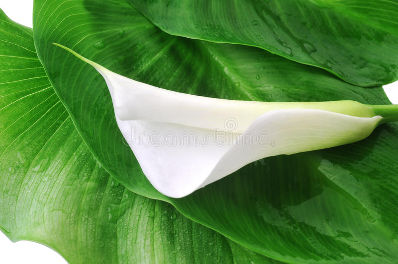 White calla lily royalty free stock image