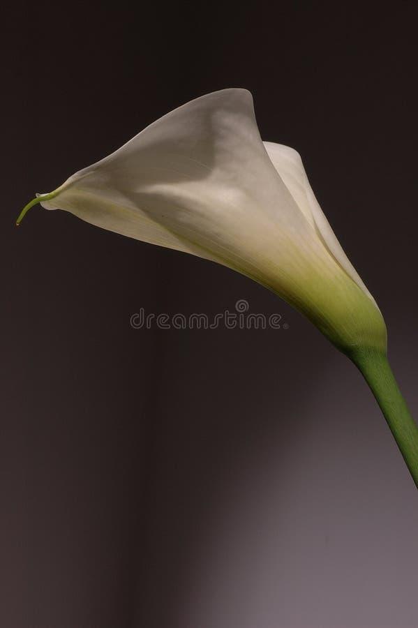 White calla lily stock photos