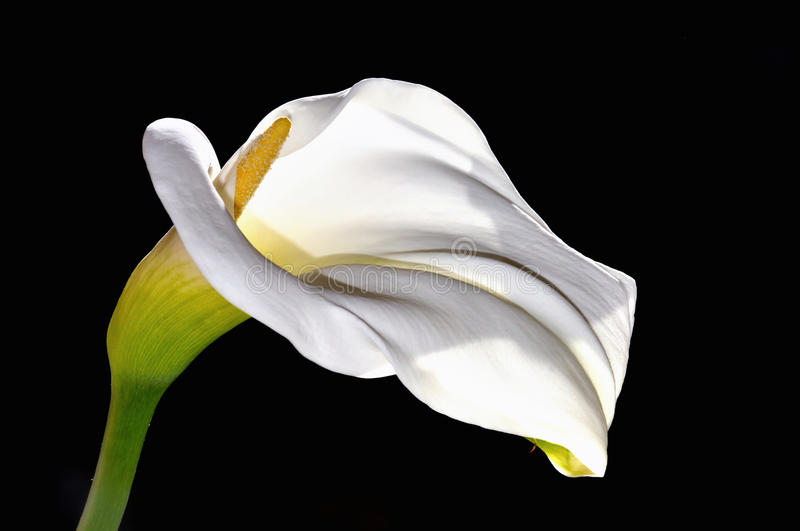 White calla lily flower. On black background royalty free stock photo