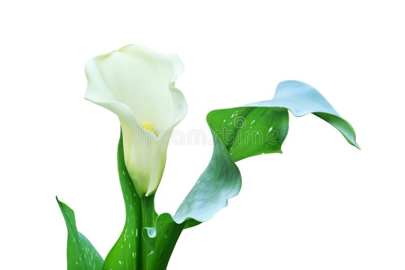 White Calla Lily Flower with Green Leaves Isolated on White Background. White Calla Lily Flower with Fresh Green Leaves Isolated on White Background stock photos