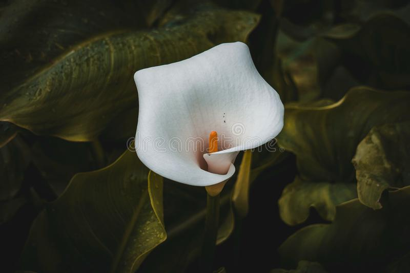 White calla lily flower plant in springtime royalty free stock photography