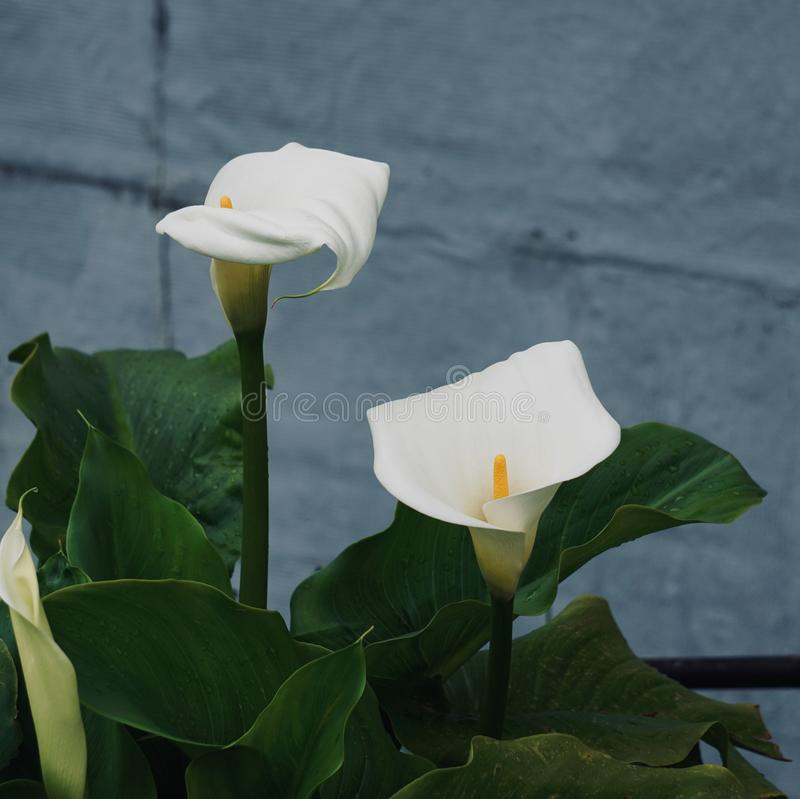 White calla lily flower plant in springtime royalty free stock photo