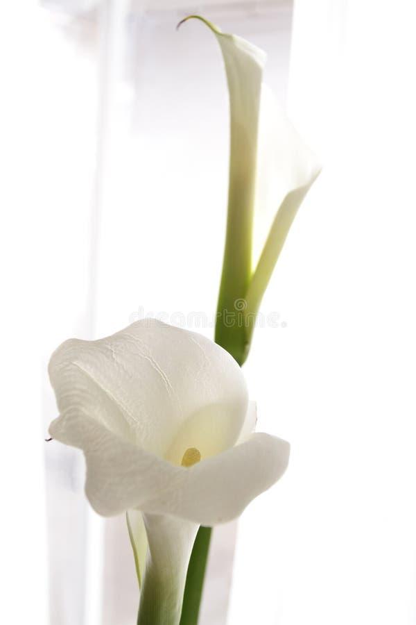 White calla lily on white light stock photo