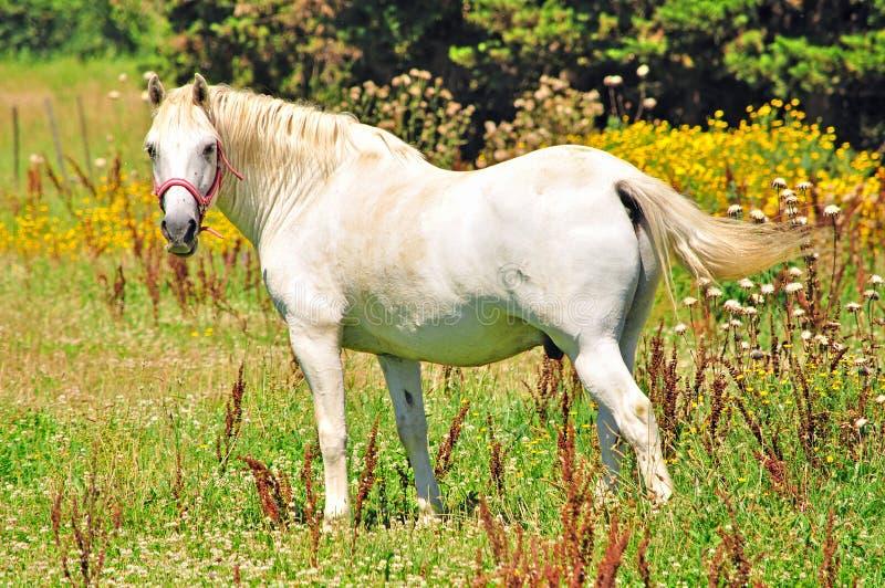 White camargue horse royalty free stock photos