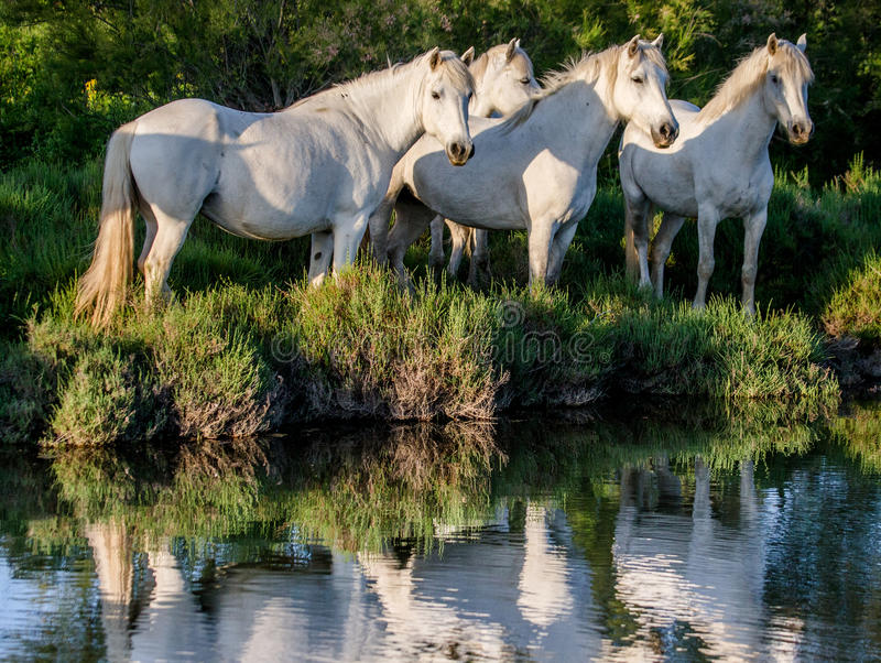 White Camargue horse standing near water with reflection. Parc Regional de Camargue. France. Provence. stock photography