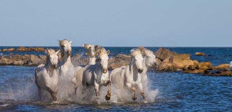 White Camargue Horses galloping along the sea beach. Parc Regional de Camargue. France. Provence. stock photography