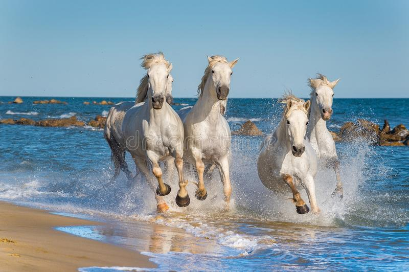 White Camargue Horses galloping stock photography