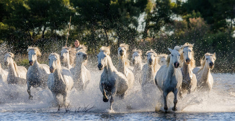 White Camargue Horses run in the swamps nature reserve. Parc Regional de Camargue. France. Provence. stock images