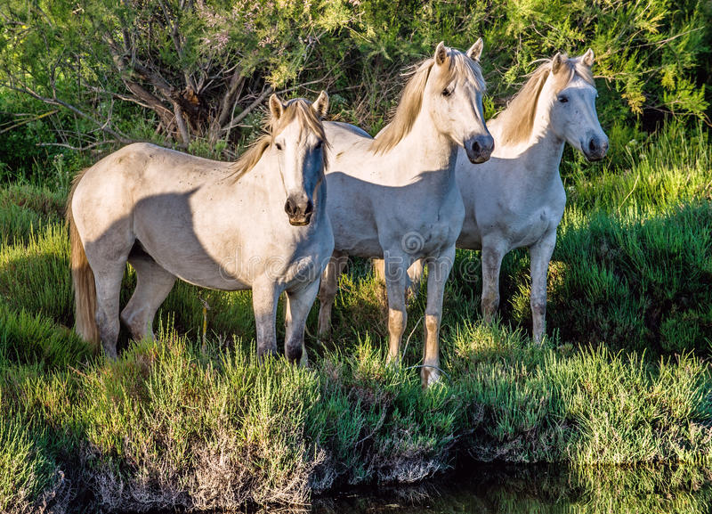 Download White Camargue Horses In Sunset Light Stock Photo - Image: 83724506