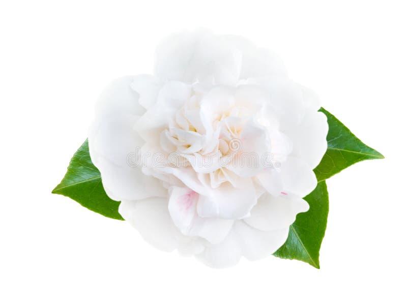 White camellia flower stock image image of winter flower 89097317 download white camellia flower stock image image of winter flower 89097317 mightylinksfo