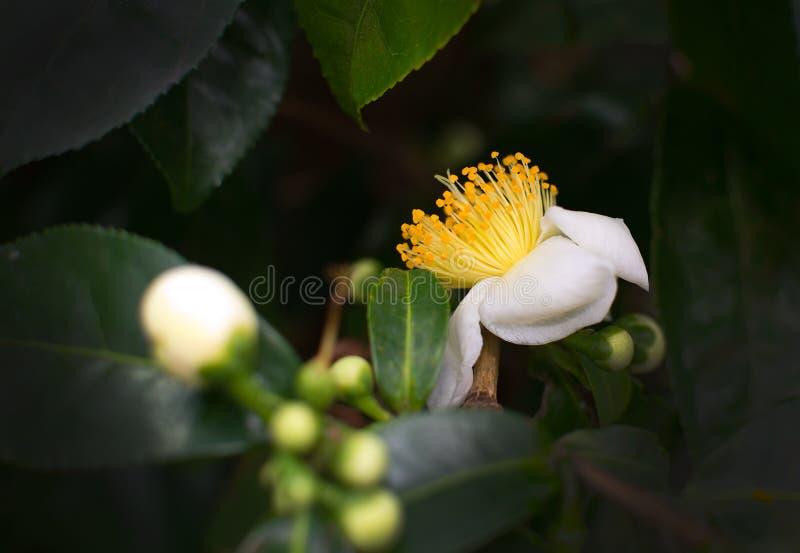 White camellia flowers stock photo image of leaf outdoors 65552894 download white camellia flowers stock photo image of leaf outdoors 65552894 mightylinksfo