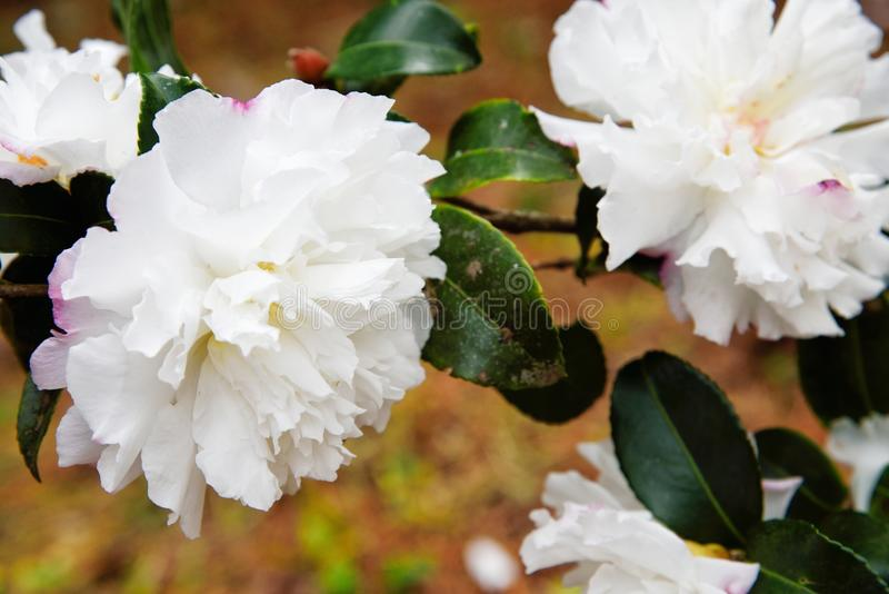 White camellia flowers in full bloom with copy space stock image download white camellia flowers in full bloom with copy space stock image image of fall mightylinksfo