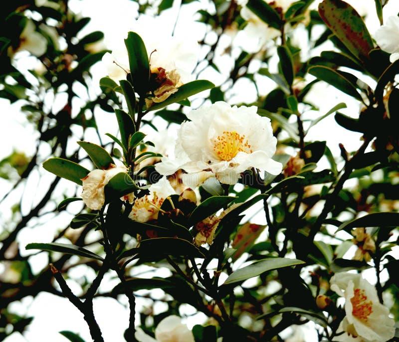 White camellia flowers on tree stock photo image of catechins download white camellia flowers on tree stock photo image of catechins botanic 109437734 mightylinksfo