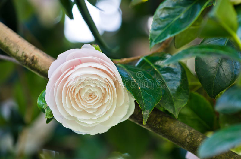 White camellia royalty free stock photo