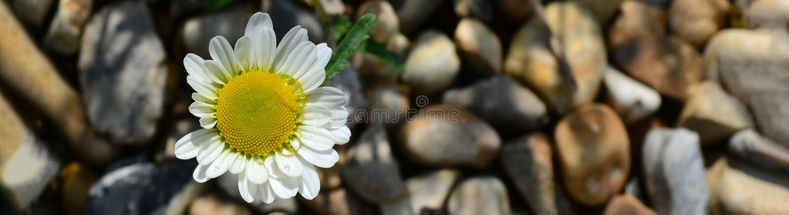 White camomile flower with green leaves. Spring and summer concept. Top view style with copy space for text. Background, beautiful, bloom, blossom, card royalty free stock images