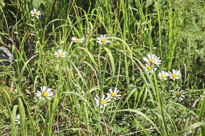 White camomile flowers among green grass. Mountain meadow, forbs.  royalty free stock photos