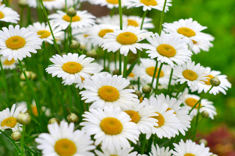 White camomiles. On the green background royalty free stock photography