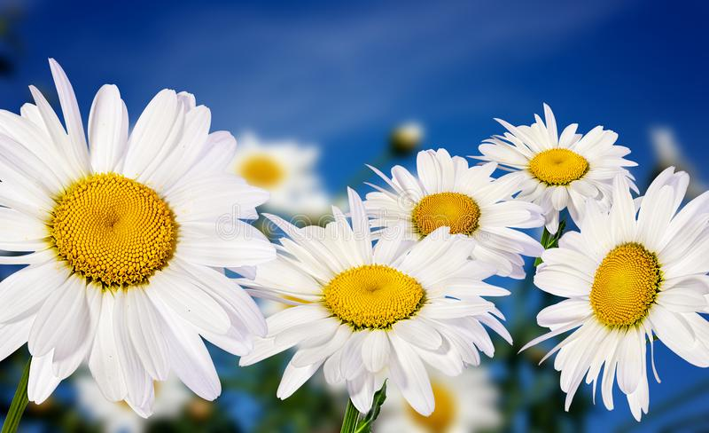 White camomiles on blue sky. Background royalty free stock image