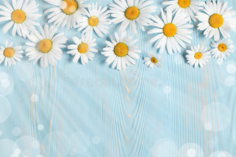 White camomiles on a blue wooden background. Beautiful spring composition, template for design with place for text stock photos