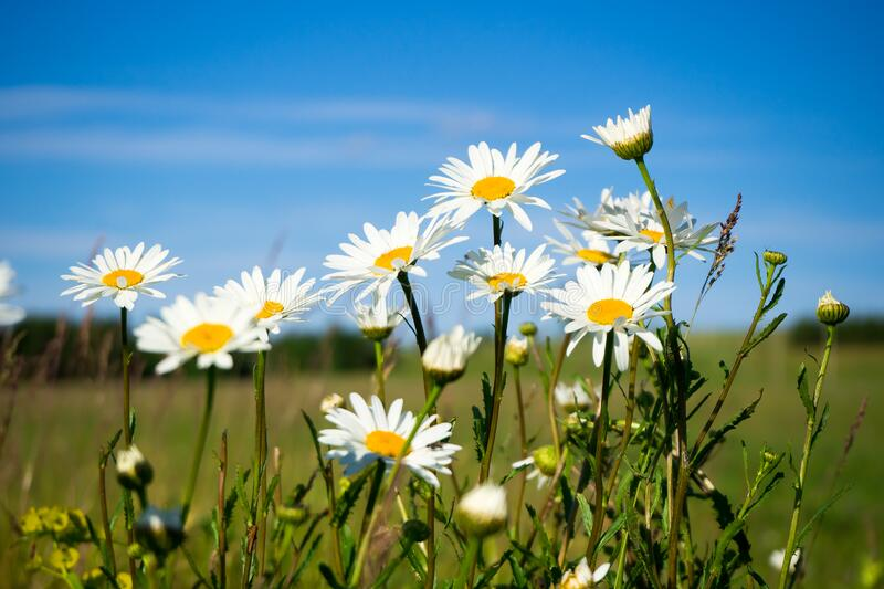 White camomiles close-up. Wildflowers on a background of blue sky. Summer landscape royalty free stock image