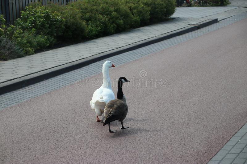 A white and Canadian grey goose are a couple in Den Haag. A white and Canadian grey goose are a couple in Den Haag royalty free stock photo