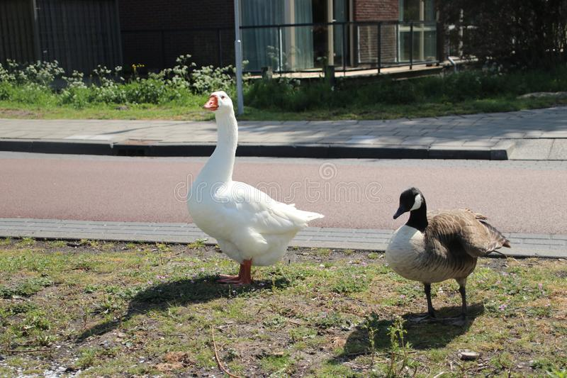 A white and Canadian grey goose are a couple in Den Haag. A white and Canadian grey goose are a couple in Den Haag stock photo