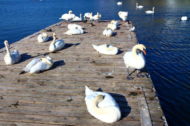 White candid swan stock photos