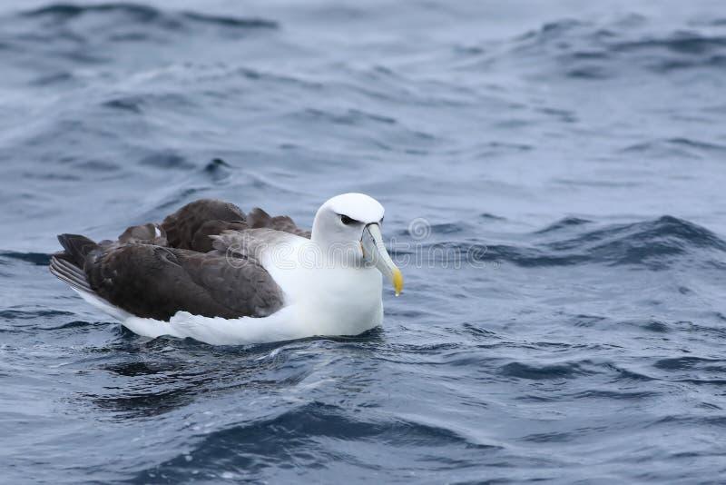 White-capped Albatross, Thalassarche steadi, at sea. A White-capped Albatross, Thalassarche steadi, at sea stock photo