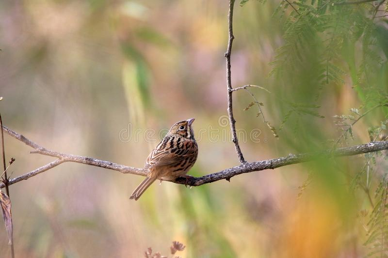 Bunting. The white-capped bunting or chestnut-breasted bunting is a species of bird in the family Emberizidae. It is found in Afghanistan, India, Iran stock photo