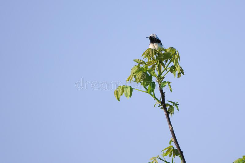 White-capped Chat. A White-capped Chat stands top of branch. Scientific name: Oenanthe pleschanka royalty free stock photo