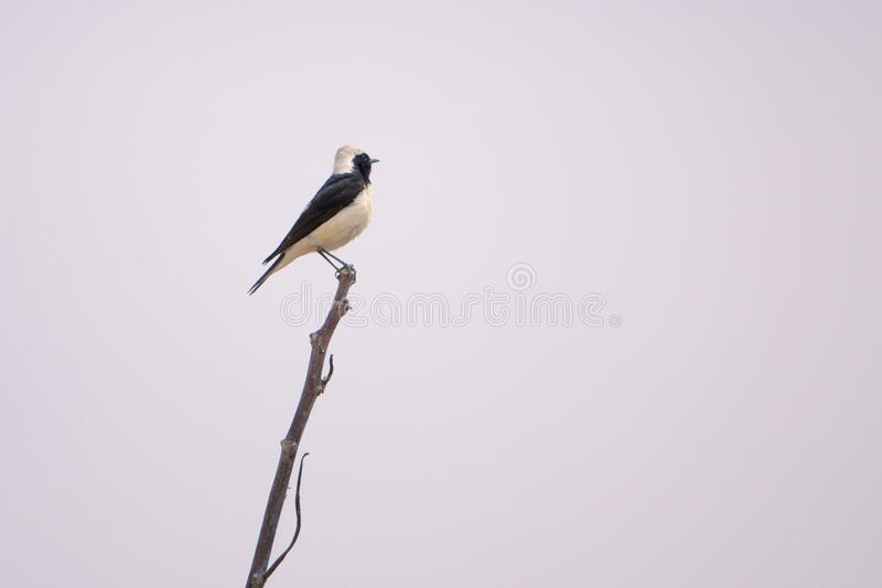 White-capped Chat. A White-capped Chat stands top of branch. Scientific name: Oenanthe pleschanka stock image