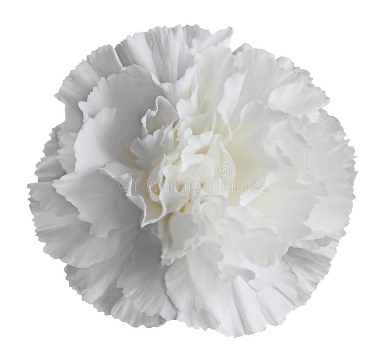 Free White Carnation Flower Royalty Free Stock Image - 29775256