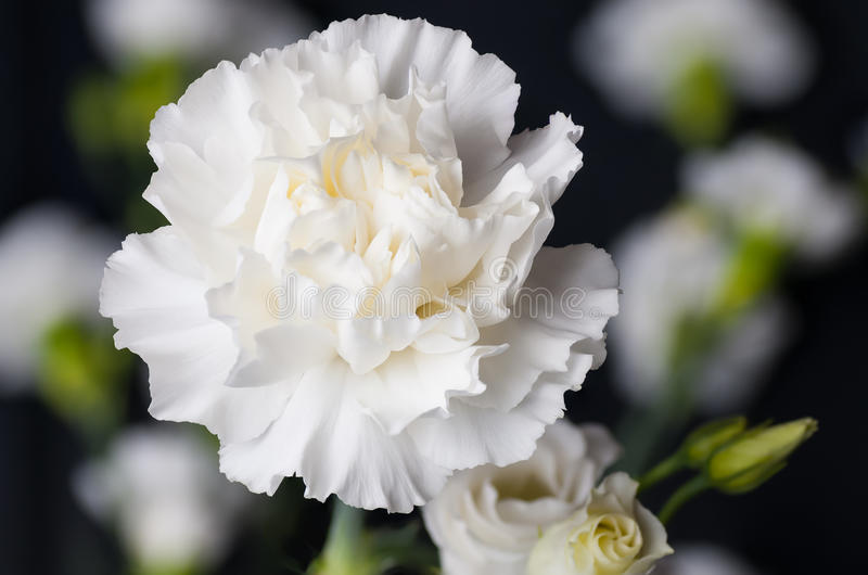 White Carnation Flower Head Up Close Stock Image - Image of stems ...