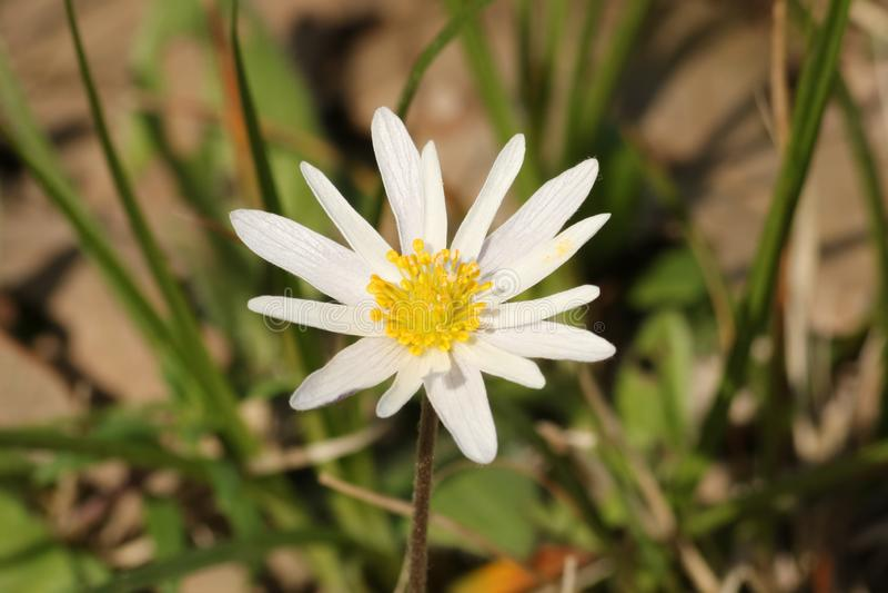 White Carolina Anemone Wildflower Close-up royalty free stock image