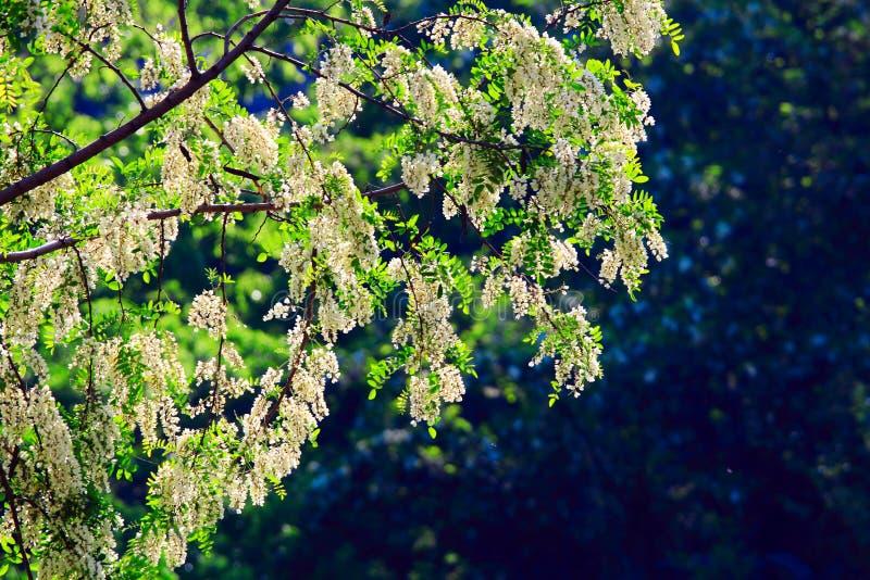 White cassia flower royalty free stock photo