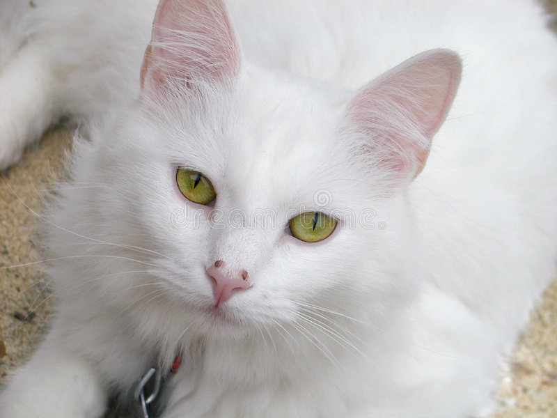 Download White cat stock image. Image of domesticated, pussycat, mammal - 9615