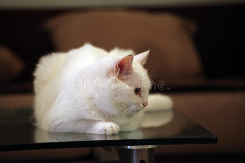 Download White Cat Stock Photography - Image: 10605482