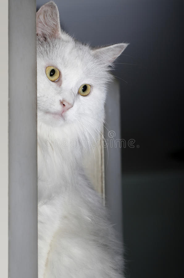 Download White Cat Stock Image - Image: 10826531