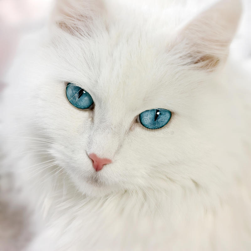 White cat. Close up view white cat blue eyes