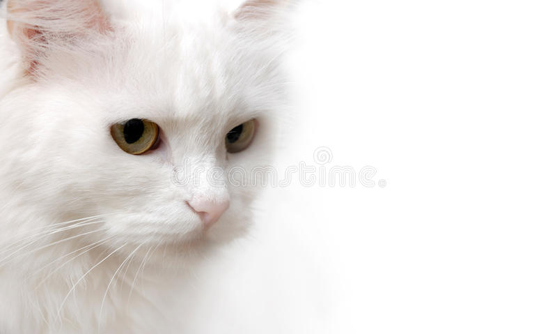 White Cat. Isolated on white background